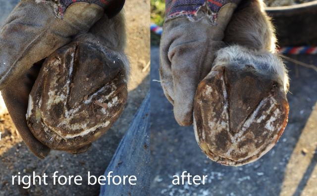 dancer_right_front_hoof_before_trim